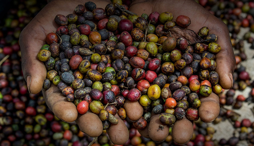 Grains of ripe coffee in the hands of a worker at an East African coffee plantation, vibrant coffee bean colours